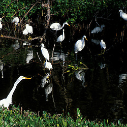 Sanibel, FL.A flock of great and snowy egrets at Ding Darling National Wildlife Refuge.  Red Mangrove swamp.