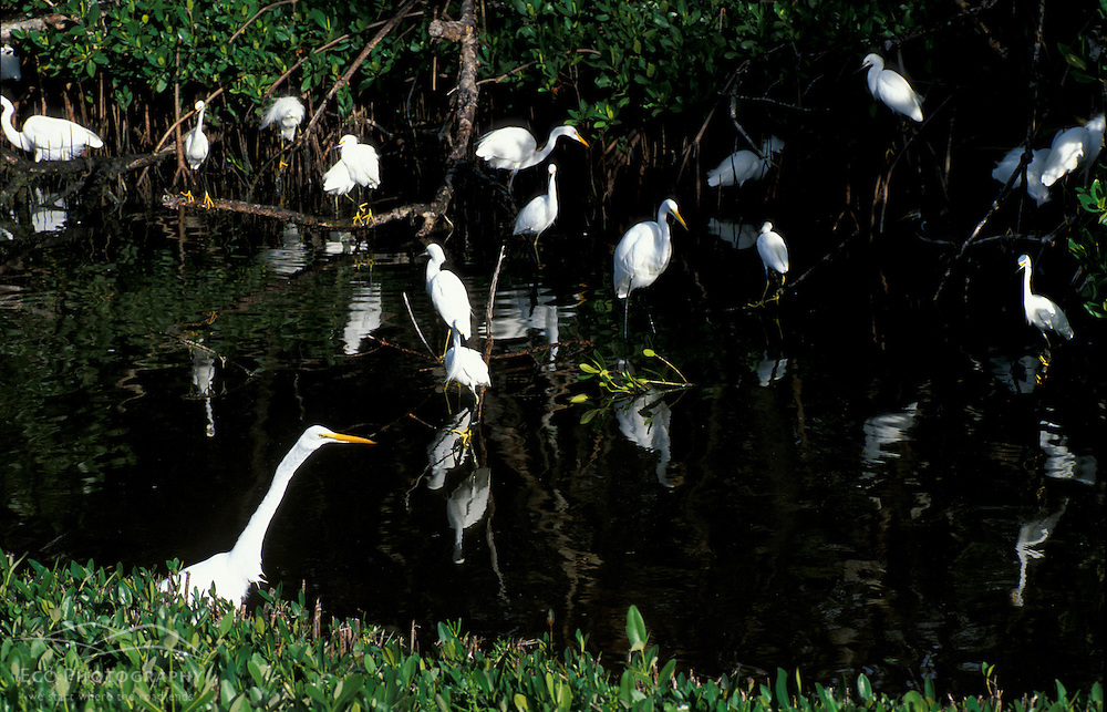 Sanibel, FL.A flock of great and snowy egrets at Ding Darling National Wildlife Refuge.  Red Mangrove swamp.