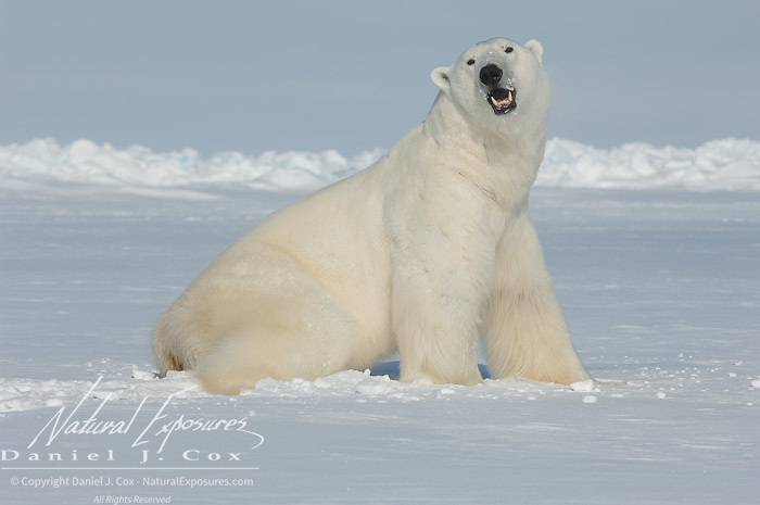 A large male polar bear (Ursus maritimus) loses it's ability to stand after being darted with an immobilizing drug by Dr. Steve Amstrup of the USGS. Kaktovik, Alaska.