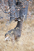 A mature whitetail buck uses his pre-orbital gland to scent mark a branch