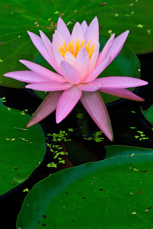 Close-up of a pink water lily (Nymphaea sp.) surrounded by lily pads at Kenilworth Park and Aquatic Gardens National Park, Washington, DC.