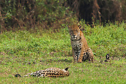 Jaguars (Panthera onca) - mating pair. Cuiaba River.<br /> Pantanal. Largest contiguous wetland system in the world. Mato Grosso do Sul Province. BRAZIL.  South America.<br /> There is much size variation among these cats but in the Pantanal they are larger than those found in the rainforests. These are the largest of the spotted cats in the Americas. They are both diurnal and nocturnal and hunt at any time of the day. Territorial and generally solitary. They may feed on large mammals such as capybaras, peccaries and deer as well as turtles, tortoises, caiman, birds, fish and smaller mammals. They may kill livestock and do in the Pantanal which is why they are still hunted there by some ranchers.<br /> HABITAT & RANGE: Found in a variety of habitats from rainforests to wet grasslands and arid scrub up to 2000 m in elevation. North, Central and South America. From Mexico to Argentina. Formerly in sw USA and Uruguay where now extirpated.