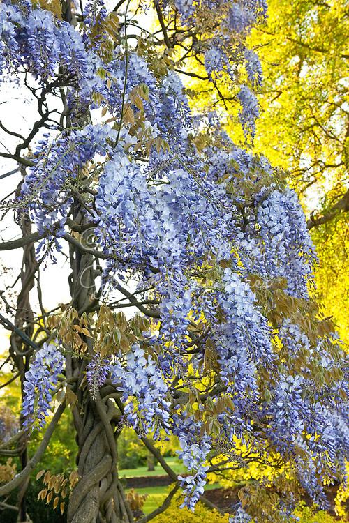 Wisteria sinensis (Chinese wisteria) growing on pergola