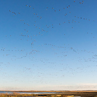 http://Duncan.co/flock-of-snow-geese