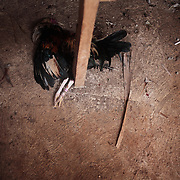 THE PHILIPPINES (Boracay). 2009. A dead game cock lies on the floor of the sheds after losing it's fight to the death at the cockfighting at the Boracay Cockpit,  Boracay Island. Photo Tim Clayton<br /> <br /> Cockfighting, or Sabong as it is know in the Philippines is big business, a multi billion dollar industry, overshadowing Basketball as the number one sport in the country. It is estimated over 5 million Roosters will fight in the smalltime pits and full-blown arenas in a calendar year. TV stations are devoted to the sport where fights can be seen every night of the week while The Philippine economy benefits by more than $1 billion a year from breeding farms employment, selling feed and drugs and of course betting on the fights...As one of the worlds oldest spectator sports dating back 6000 years in Persia (now Iran) and first mentioned in fourth century Greek Texts. It is still practiced in many countries today, particularly in south and Central America and parts of Asia. Cockfighting is now illegal in the USA after Louisiana becoming the final state to outlaw cockfighting in August this year. This has led to an influx of American breeders into the Philippines with these breeders supplying most of the best fighting cocks, with prices for quality blood lines selling from PHP 8000 pesos (US $160) to as high as PHP 120,000 Pesos (US $2400)..