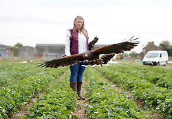 © Licensed to London News Pictures. 18/05/20. Hillam, UK. <br />Geoff the Harris Hawk with his owner Kira Weston. Geoff has been hired by Charlotte Wells-Thompson who own Berts Barrow, a small family run farm in Hillam North Yorkshire, to carry out daily patrols of the strawberry fields. In recent years the fields have been overrun by crows who destroy the fruit ,and cost the business thousands of pounds, but thanks to Geoff the crows have stayed away and this year looks to be a bumper crop. Photo credit: Scott Merrylees/LNP