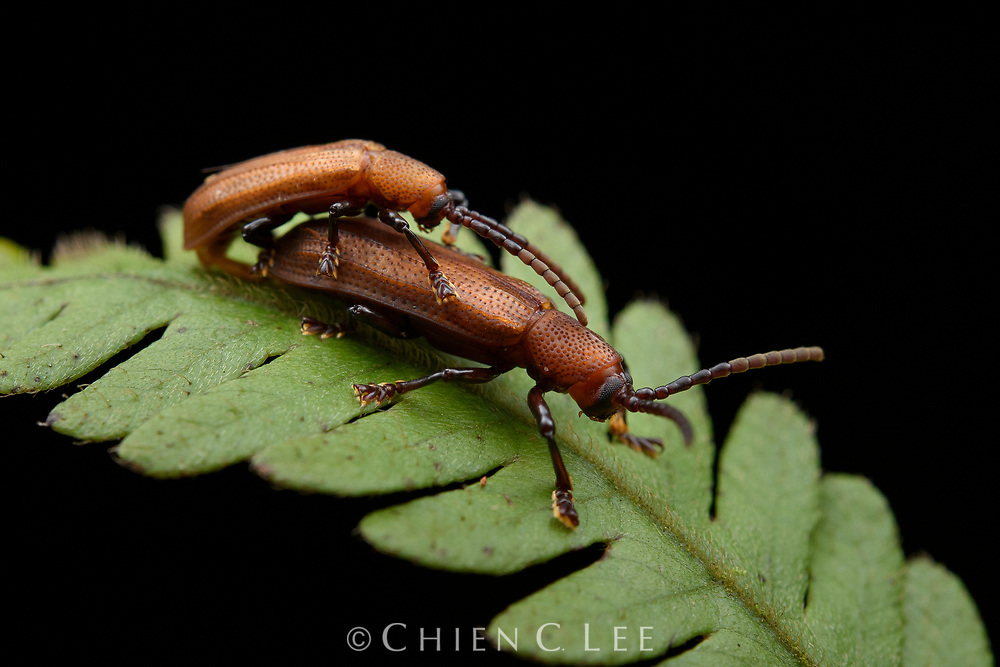Leaf-mining beetle (Anisodera sp.), mating. Sarawak, Malaysia.