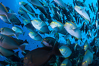 Schooling Surgeonfish, coming at ya<br /> <br /> Shot in Indonesia
