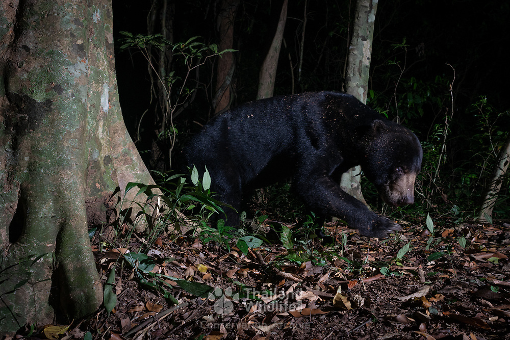 The sun bear (Helarctos malayanus) is a bear found in tropical forest habitats of Southeast Asia. The global population is thought to have declined by more than 30% over the past three bear generations alone.