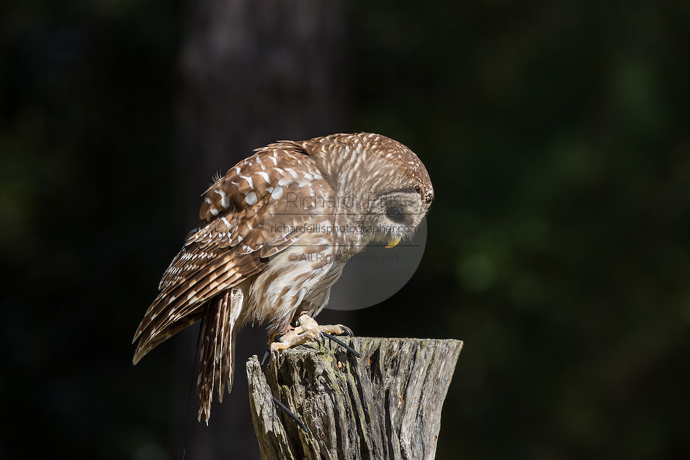 Barred owl in profile at the Center for Birds of Prey November 15, 2015 in Awendaw, SC.