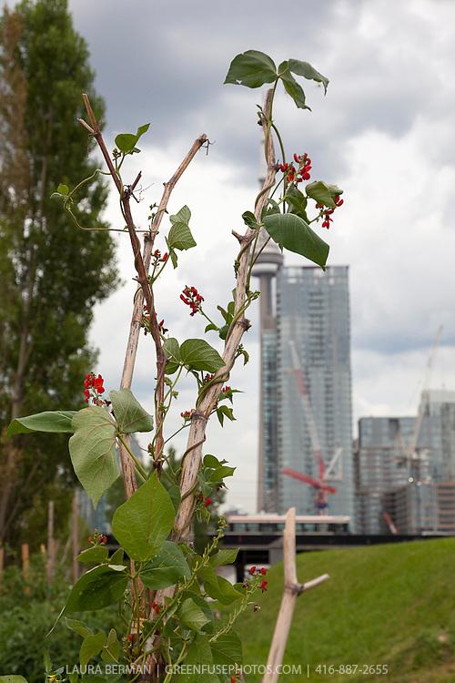 Productive vegetable gardens against a backdrop of Toronto's urban skyline.