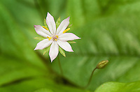 Trientalis latifolia, Western Star Flower
