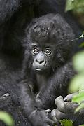 Mountain Gorilla<br /> Gorilla gorilla beringei<br /> 3 month old infant<br /> Parc National des Volcans, Rwanda