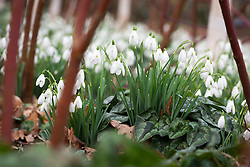 Snowdrops and cornus beneath a grove of silver birch trees in the Winter Garden at Dunham Massey. Galanthus