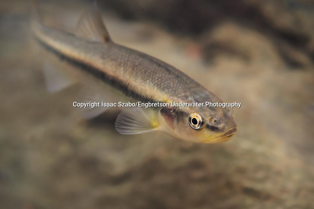 Creek Chub<br /> <br /> Isaac Szabo/Engbretson Underwater Photography