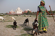 A woman pastor is caring for her goats over the sands created by the low summer flow of the heavily polluted Yamuna River, across a view of the Taj Mahal, in Agra.