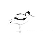 Avocet, Texel, the Netherlands