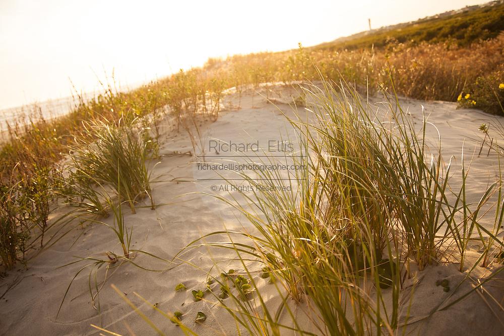 Sea oats along the beach dunes on Sullivan's Island, SC.