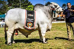Grande Campeão da raça Brahman durante a 38ª Expointer, que ocorrerá entre 29 de agosto e 06 de setembro de 2015 no Parque de Exposições Assis Brasil, em Esteio. FOTO: Vilmar da Rosa/ Agência Preview