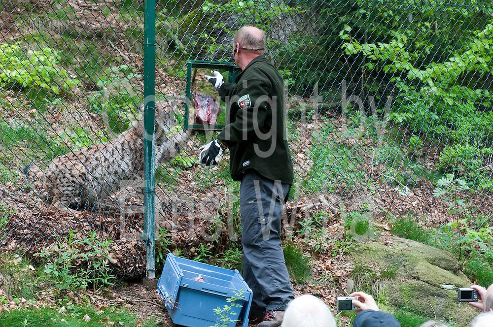 Fütterung im Luchsgehege Rabenklippe, Harz, Niedersachsen, Deutschland   lynx feeding Lynx Compound Rabenklippe, Harz, Lower Saxony, Germany