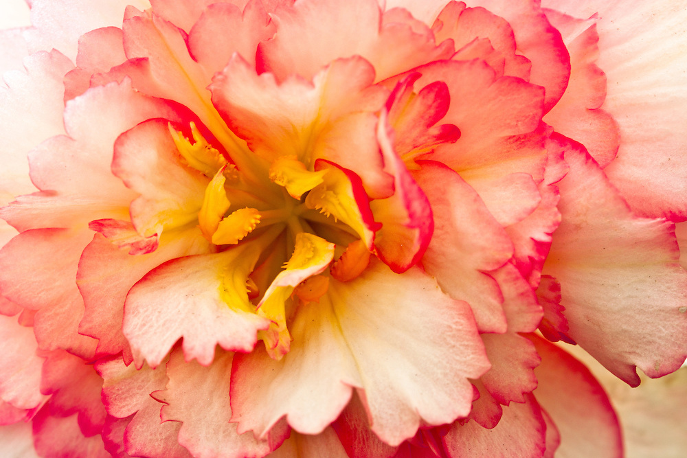 The close up shot of this begonia displays an interesting center.