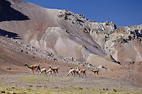 GUANACOS (Lama guanicoe), GRUPO DE CHULENGOS, RESERVA NATURAL LAGUNA DEL DIAMANTE, PROVINCIA DE MENDOZA, ARGENTINA