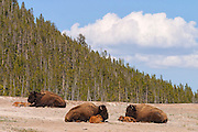 Three American bison (Bison bison) rest with their calves on an open field in Yellowstone National Park, Wyoming. American bison are also commonly referred to as buffalo.