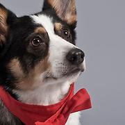 Head shot of happy tri-color Pembroke Welsh Corgi Dog.