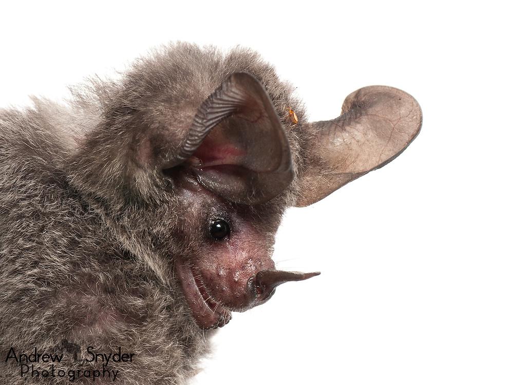 Stripe-headed Round-eared bat (Tonatia saurophila) - Guyana