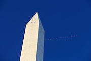 Canada geese flying past the Washington Monument on the National Mall in Washington, D.C.
