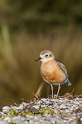 Usually pale-grey on the back, with off-white underparts, the chest of the New Zealand Dotterel becomes flushed with rusty-orange in winter and spring.  In this picture, a NZ Dotterel poses nicely against a pleasant tussock backdrop at Waiheke Island.