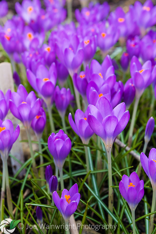 Crocuses flower in March in a Cumbrian garden