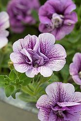 Petunia 'Priscilla' (Tumbelina Series) - (scented)
