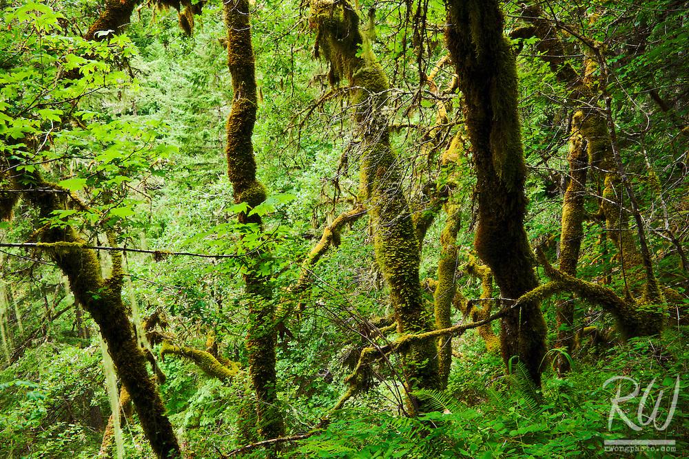Temperate Rainforest / Eagle Creek, Columbia River Gorge National Scenic Area, Oregon