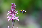Read more about Woundwort and the guzzling bees here http://foxglovelane.blogspot.ie/2012/07/guzzling-bees-and-woundwort-flowers.html
