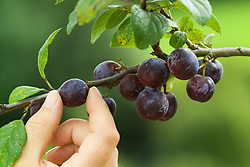 Hand picking damsons