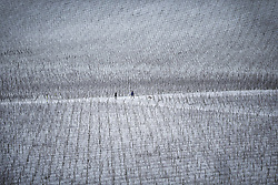 © Licensed to London News Pictures. 17/01/2016. Dorking, UK. Dog walkers make their way through snow covered vines on the Denbies Wine Estate. Snow has fallen in the South East for the first time this winter. Photo credit: Peter Macdiarmid/LNP