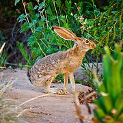 Jackrabbit - Veterans Oasis Park, Chandler, AZ
