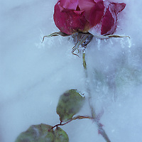 Deep pink Rose or Rosa Lovely Lady on its stem with leaves embedded in sheet of ice