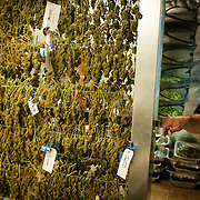 "Benjamin ""Chico"" Suarez, Jr. pulls out a drying rack at Medicine Man in Denver. After they are trimmed, plants are dried and cured. All plants are tagged in a 'seed to sale' program in order to track them as mandated by Colorado law."