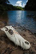 Black Caiman Skull (Melanosuchus niger)<br /> Rainforest<br /> Rewa River<br /> Iwokrama Reserve<br /> GUYANA. South America<br /> RANGE: Amazon River basin and Guyana Shield<br /> Appendix I by the Convention of International Trade of Endangered Species  (CITES) - threatened with extinction.