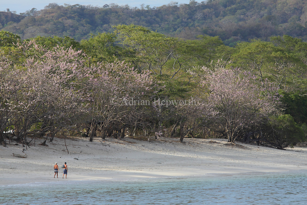Tourists walking by tropical dry forest at Conchal Beach, Guanacaste, Costa Rica. <br />