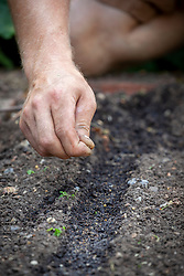 Sowing celery seeds into drills in the vegetable garden - Apium graveolens