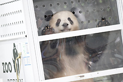 June 24, 2017 - Berlin, Germany - Panda Jiao Qing behind a glass disc at the Berlin airport Schönefeld. (Credit Image: © Simone Kuhlmey/Pacific Press via ZUMA Wire)
