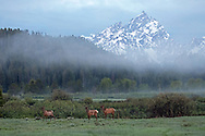 A trio of elk cows heads for the willows as the fog rises above Willow Flats in Grand Teton National Park.