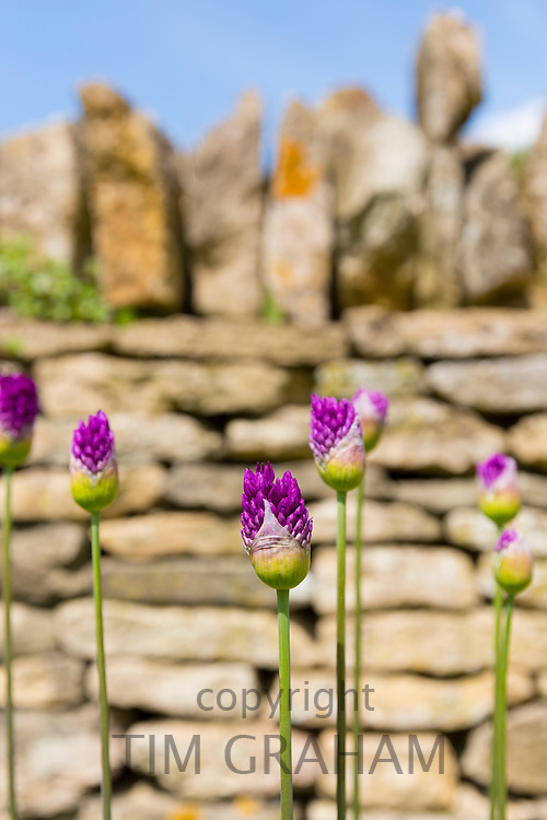 Allium flower heads of perennial plants opening from bud as Spring turns to Summer in the Cotswolds, UK