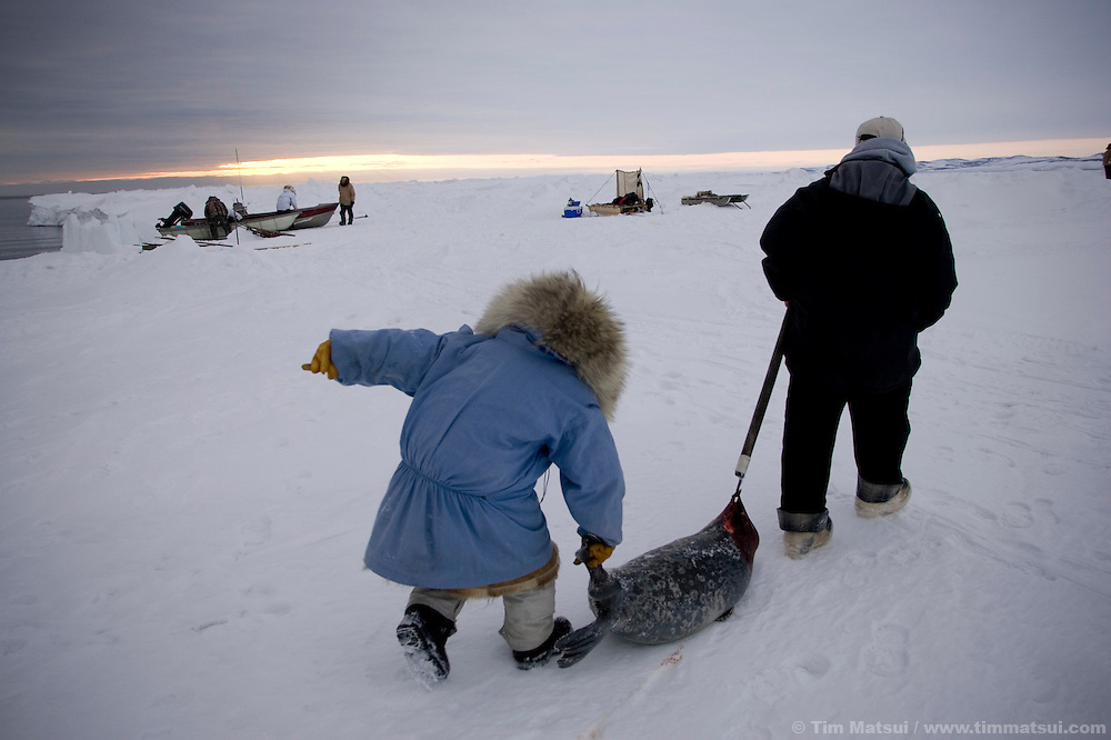 May 3, 2008 -- Kivalina, AK, U.S.A..Richard Sage and nine year-old Justin Cooper Swan with a seal Sage shot from whaling camp on the pack ice, some two miles from shore and 12 miles from the native village of Kivalina, Alaska. Kivalina is suing 20 oil companies for property damage related to global warming; the ocean pack ice forms later and melts earlier, leaving the town vulnerable to erosive winter storms and endangering their traditional subsistence lifestyle. (Photo by Tim Matsui)