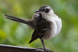 Galpagos Mockingbird (Mimus parvulus) near Tortuga Bay, Galapagos Islands National Park, Santa Cruz Island, Galapagos, Ecuador