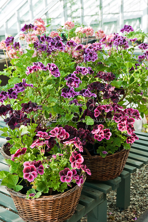 Pelargonium varieties planted in wicker baskets in the Walled Garden glasshouse<br /> <br /> Kelmarsh Hall &amp; Gardens, Northamptonshire, England