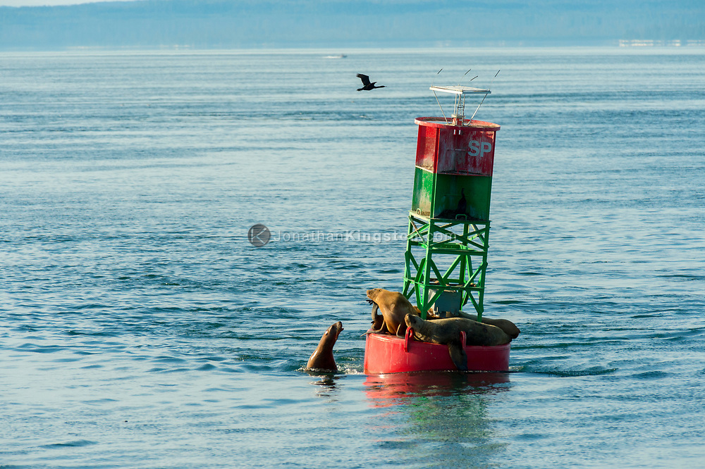 Steller sea lions (Eumetopias jubatus) and Pelagic cormorants (phalacrocorax pelagicus) rest on a navigation buoy near Petersburg, Alaska.